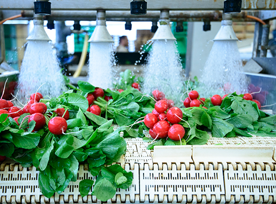 Radishes on a conveyor belt being washed
